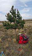 Removing wilding pines